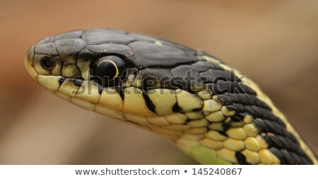 Stock photo: Head of a Red Sided Garter Snake
