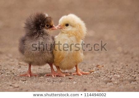 szerető · csók · csirke · boldog · fiatal · pér · nő - stock fotó © rosipro