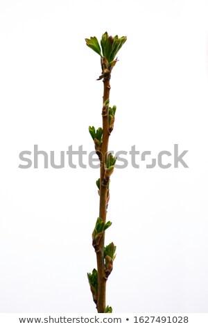 Ribiszke Stock fotó © LianeM