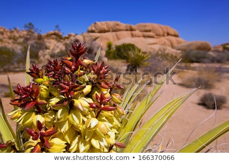 Yucca brevifolia flowers in Joshua Tree National Park Stock photo © lunamarina