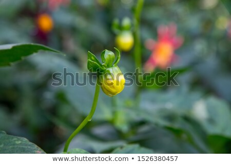 Close up of single yellow dahlia with water droplets Stock photo © jenbray