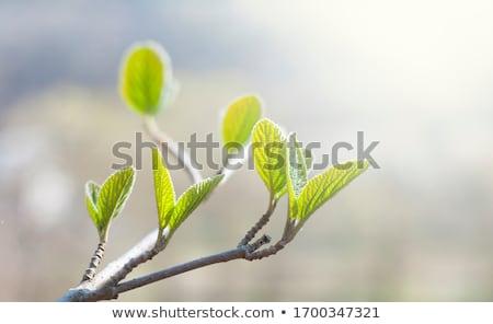 yeşil · ağaç · küçük · yeşil · yaprakları · gökyüzü - stok fotoğraf © romas_ph