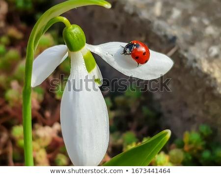 Joaninha flor topo primavera natureza folha Foto stock © tito