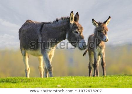 Donkey on a Farm Stock photo © rhamm