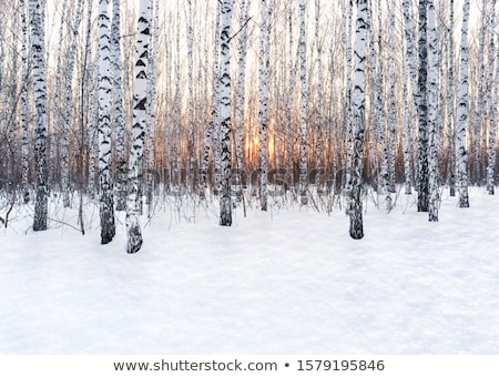ストックフォト: 樺 · 森林 · 冬 · 雪 · 木 · 美