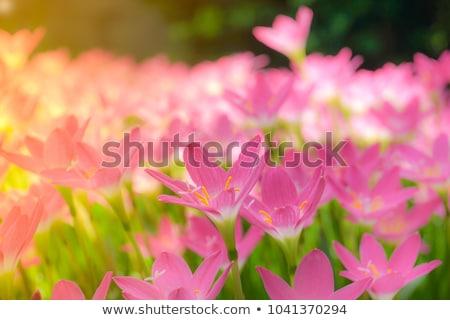 flores jardim primavera : flores jardim primavera: Rosa · chuva · lírio · flor · jardim · de · flores · primavera