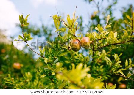 Nar meyve büyüyen İspanya detay Stok fotoğraf © backyardproductions