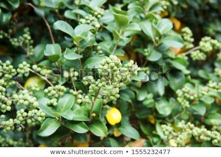 Pile of Organic Indian bdellium (Commiphora wightii) Stock photo © ziprashantzi