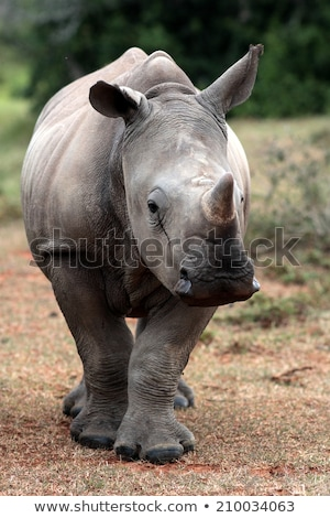 Stock photo: Mother White rhino with a baby Rhino
