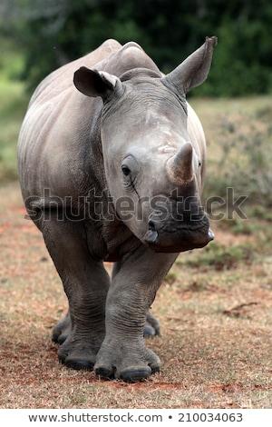 mother white rhino with a baby rhino stock photo © simoneeman