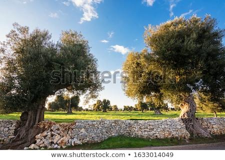 olajbogyók · ősi · olajbogyó · fák · háttér · növények - stock fotó © Fotografiche