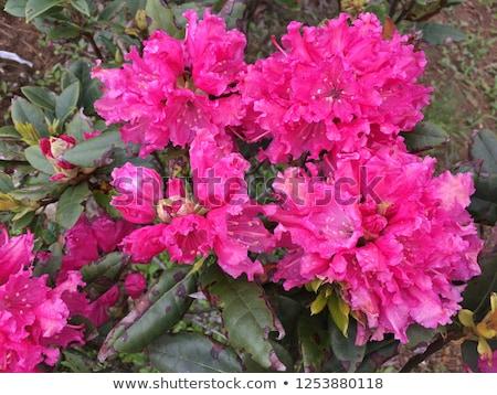 розовый · весенние · цветы · азалия · цветок · природы · свет - Сток-фото © klinker