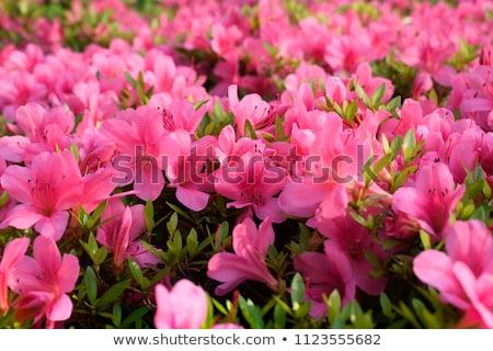 Azalea bloemen groep tuin bloem Stockfoto © raywoo