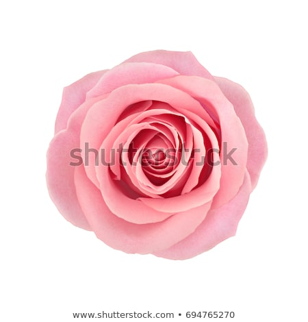 Pink rose-detail stock photo © Kidza