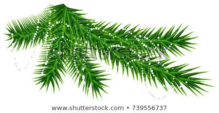Zielone sosny jodła oddziału rzadki śniegu Zdjęcia stock © orensila
