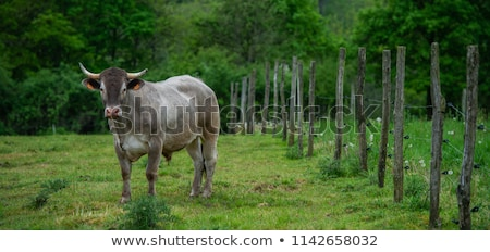 Bazadaise cows and calves daisy in the meadow Stock photo © FreeProd