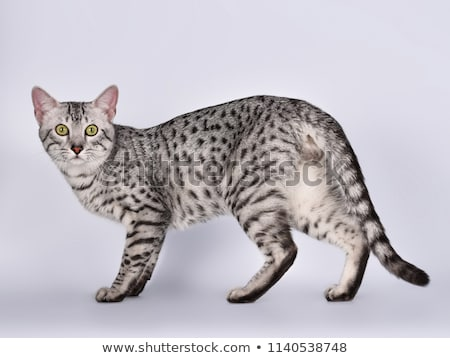 Cute silver spotted Egyptian Mau cat  Stock photo © CatchyImages