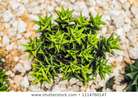 Stockfoto: Succulents of cacti on sandy soil. The trend of cactus concept