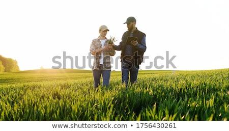Farmer in green wheat field in spring examining plants Stock photo © simazoran