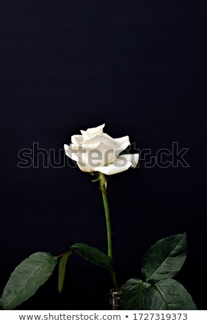 The yellow rose against black background stock photo ...