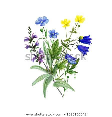 Blauw wild salie weide ondiep diep Stockfoto © smithore