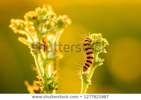 rups · plant · oranje · groene · zwarte - stockfoto © chris2766