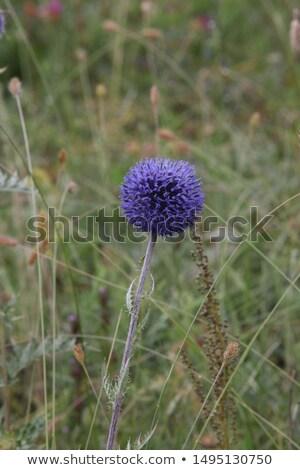 Lila földgömb virágok gömb alakú mértani egy Stock fotó © TheFull360