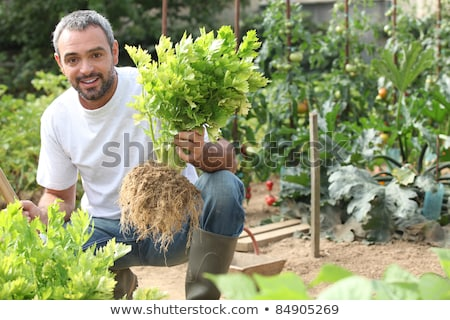 Man pulling celery out of the ground Stock photo © photography33