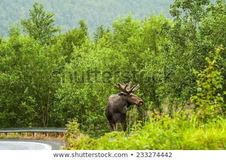 préri · jávorszarvas · mező · Saskatchewan · Kanada · fű - stock fotó © pictureguy