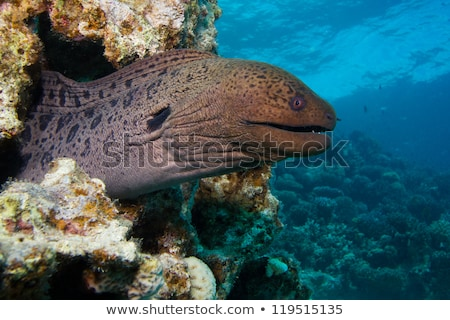 Giant moray and tropical reef in the Red Sea. Stock photo © stephankerkhofs