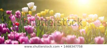 Primavera tulipanes tres hermosa rosa gotas Foto stock © zhekos