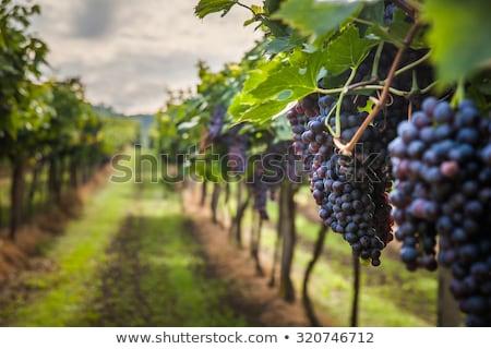 Druif wijngaard gezondheid boerderij Geel Stockfoto © imarin