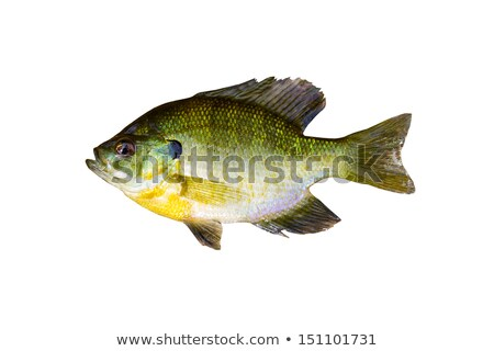 Pristine Sunfish on White  Stock photo © tab62