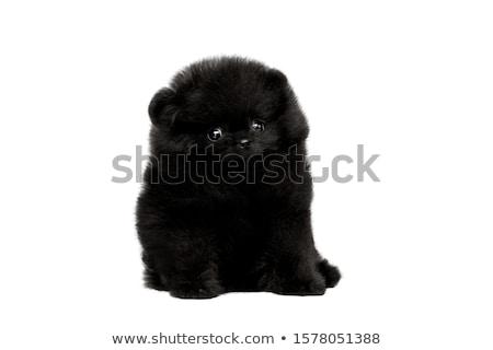 aranyos · kutyakölyök · magyar · sötét · stúdió · fekete - stock fotó © silense