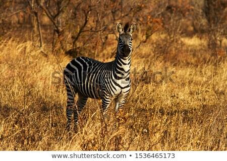 Zebra nyomtatott fekete fehér minta afrikai Stock fotó © TanArt