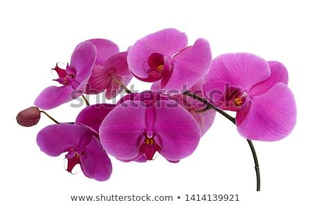 Roze witte orchidee bloem geïsoleerd shot Stockfoto © stocker
