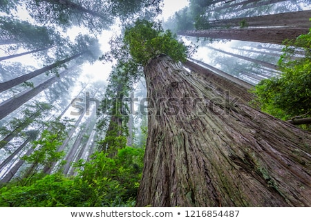 Sequoias in California view from below Stock photo © lunamarina