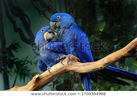 Hyacinth macaw, anodorhynchus hyacinthinus Stock photo © Elenarts