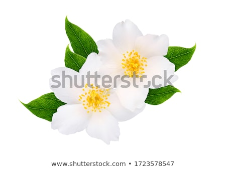 white jasmine flower   stock photo © yanukit