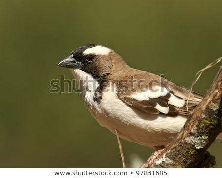 White-browed Sparrow-weaver (Plocepasser mahali) Stock photo © dirkr