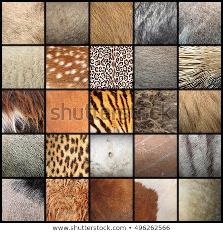 texture of zebu fur Stock photo © taviphoto
