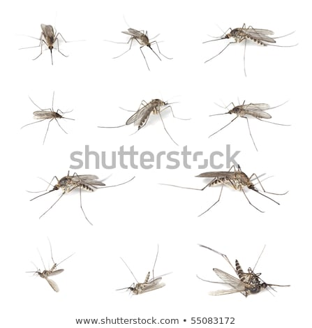 Dead mosquito isolated on white background Stock photo © Yongkiet