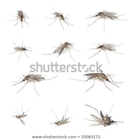 mosquitos · aislado · blanco · naturaleza · sucia · virus - foto stock © yongkiet