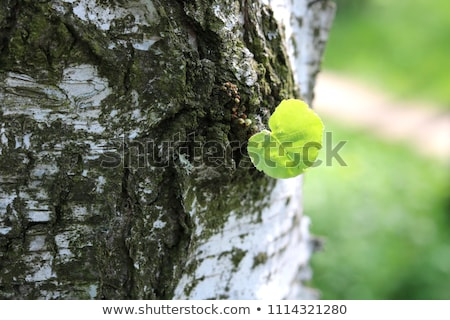 early spring in a birch forest Stock photo © mikhail_ulyannik