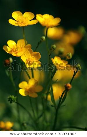 Blossom water-crowfoot Stock photo © olandsfokus