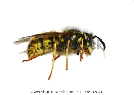 dode · wesp · spinnenweb · web · insect · close-up - stockfoto © michaklootwijk