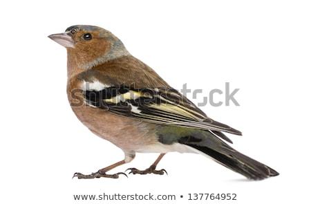 male common chaffinch Stock photo © ivonnewierink