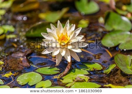 Növényvilág indonéz tavacska víz növények kristály Stock fotó © artush