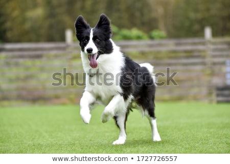 Bruin witte border collie hond vergadering Stockfoto © eriklam