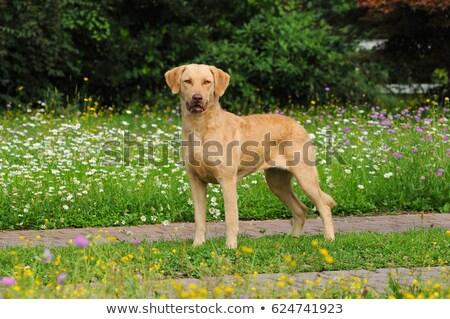 Típico perdiguero hierba verde césped primavera jardín Foto stock © CaptureLight